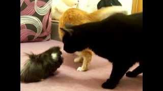 морская свинка - шпана, гоняет кота)