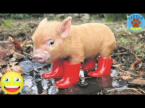 Cute & Funny Micro Pig - A Cute Mini Pig Videos Compilation 2019