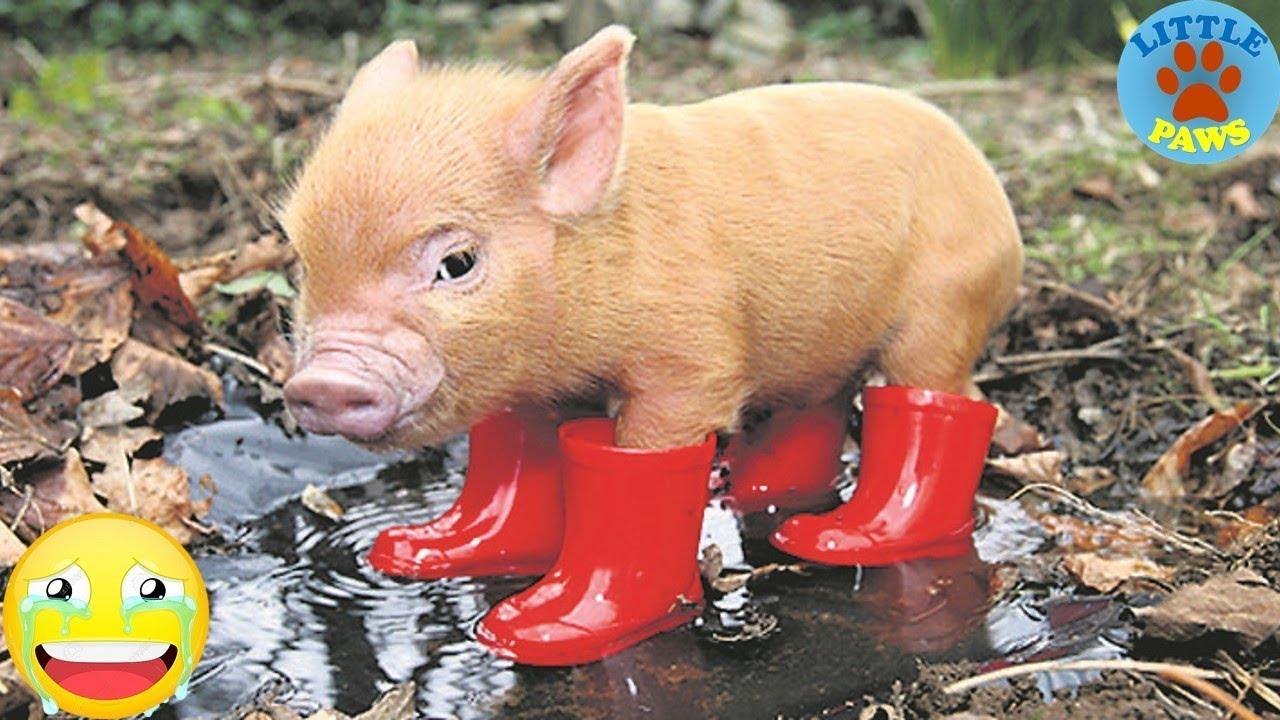 pig cute micro mini funny