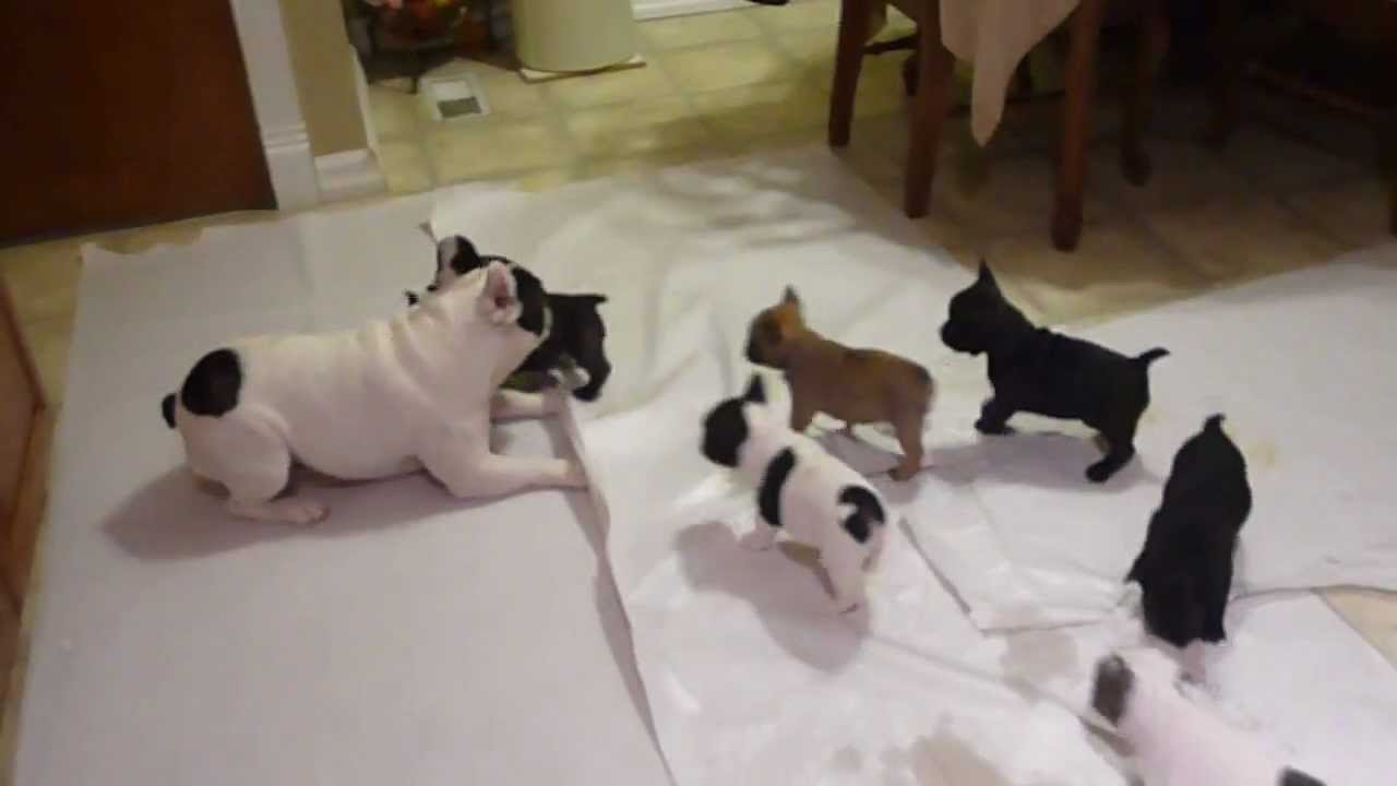 French bulldog playing with his pups - YouTube