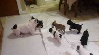 French Bulldog Playing With His Pups
