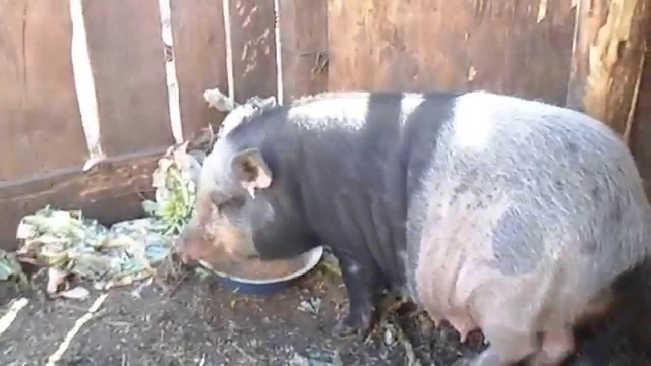 Как определить гуляет свинья или нет