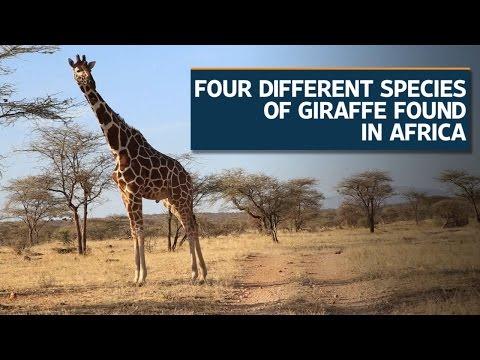 Four species of Giraffe found, reveals genetic analysis