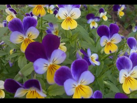 Фиалка рогатая: выращивание и уход