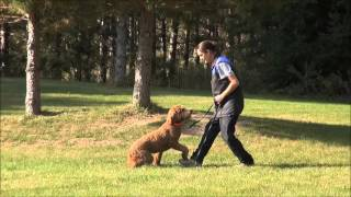 Lilly (goldendoodle) Boot Camp Dog Training Video