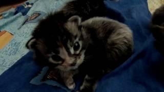 Котята породы мейн-кун. Продажа котят в Омске