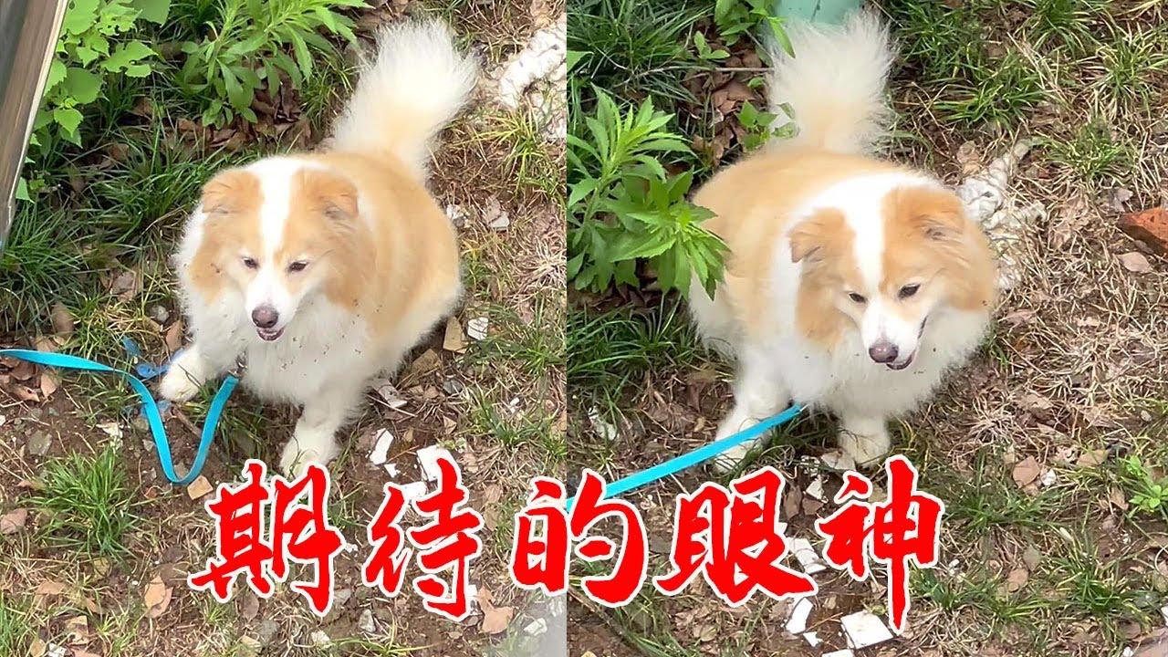 23丨咬人边牧训练第43天:常规的方法已经对狗狗没有用了,今天尝试新的方法去改善它的这种护食的行为。【犬道APP】