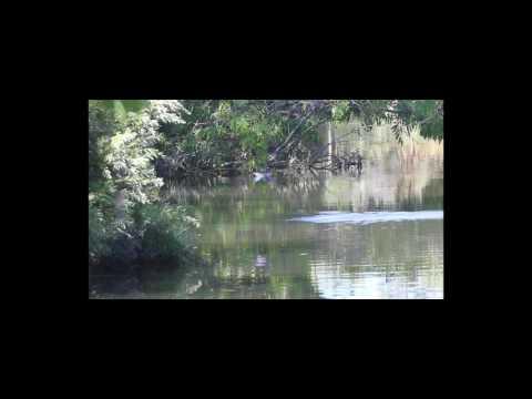 Sacred Kingfisher Kororoit Creek Altona Jan 2017