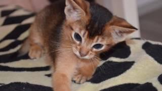 Абиссинский котенок. Абиссинка. Котята