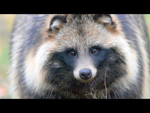 Енотовидная собака. Голос. Raccoon dog. Voice.