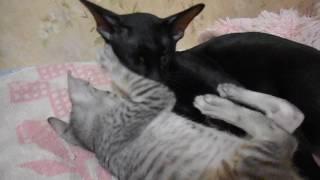 Восточные ( ориентальные ) кошки  Питомник Soul Master