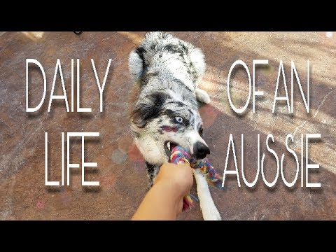 Daily Life Of An Australian Shepherd