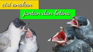cara membedakan anakan burung kutilang jantan dan betina