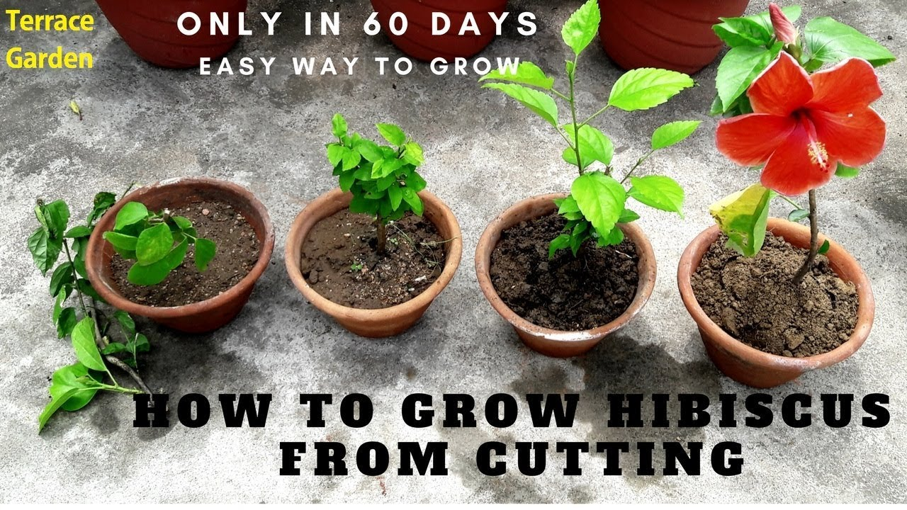 How To Grow Hibiscus From Cuttingsगडहल क कटग
