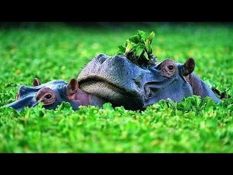 Hippopotamus @ nature's wild feast Documentary national geoghraphic HD 2016