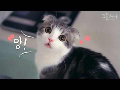 Cute cat cobi meowing and talking (Cute cat video)