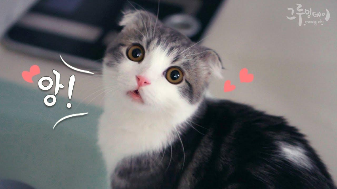 이름 부르면 귀엽게 대답하는 먼치킨 고양이 cat Meow