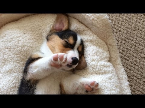CUTE SLEEPING CORGI PUPPY COMPILATION - Grows Up!