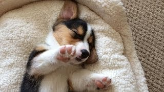 Cute Sleeping Corgi Puppy Compilation - Grows Up!