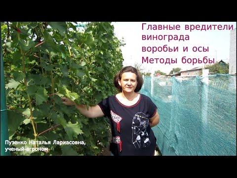 Главные вредители винограда- осы и птицы. Методы борьбы