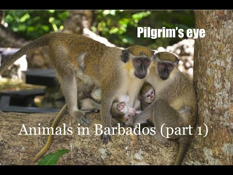 Animals from Barbados - Zwierzęta na Barbadosie