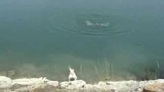 Labrador Retriever Rescate Agua Water Rescue