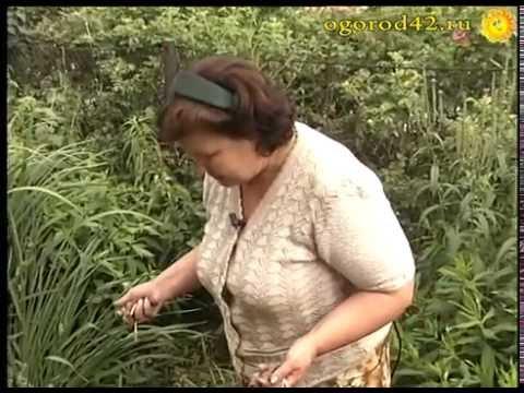 Советы опытного цветовода. Выкопка тюльпанов для выгонки и посадки осенью