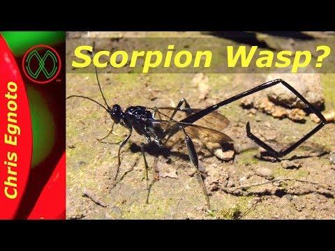 Scorpion Wasp? -