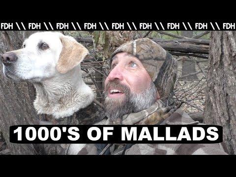 Duck Hunting 2017 Thousands of Mallards!