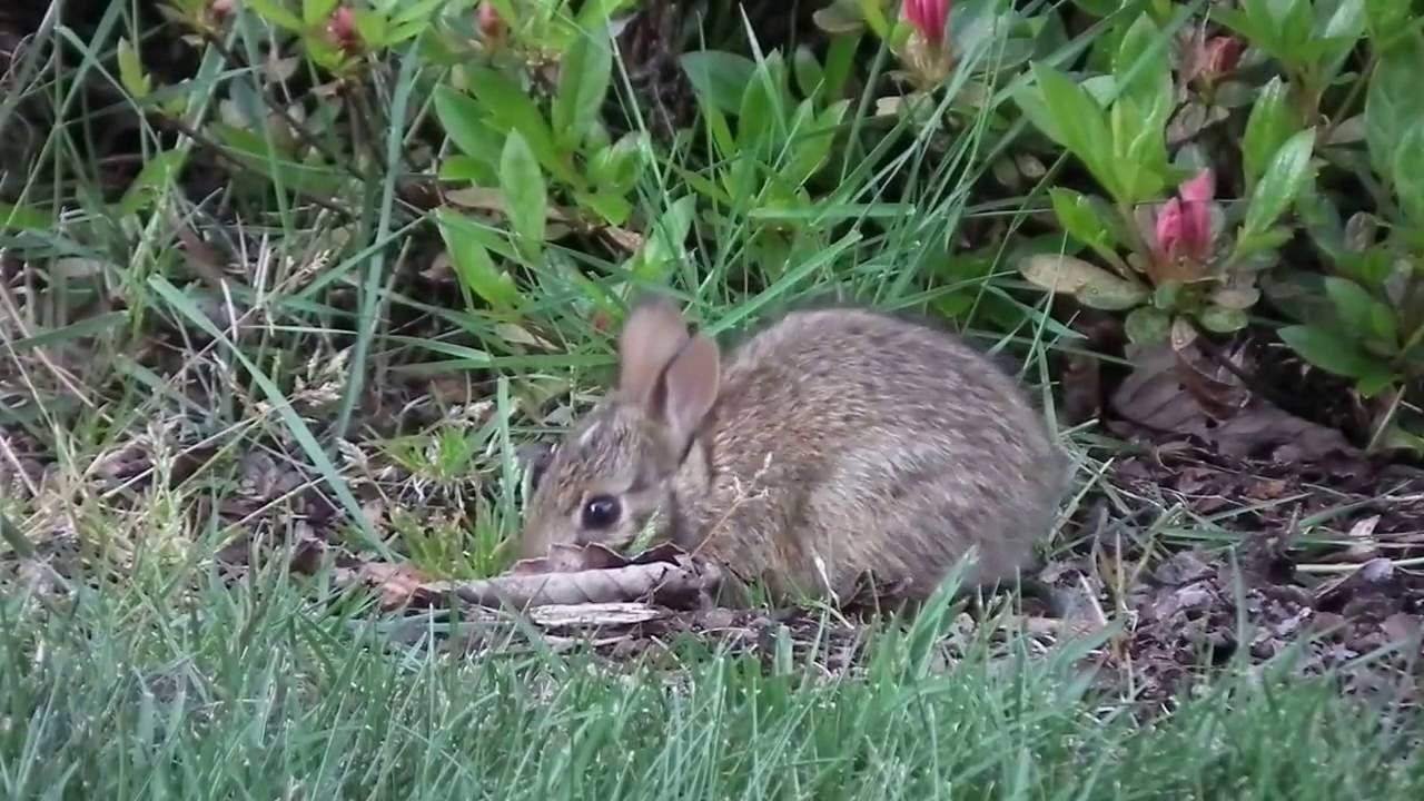 wild baby bunnies in back yard =ω= - YouTube