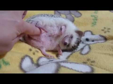 ネムネム睡魔に勝てないハリネズミ【ノエル♀】