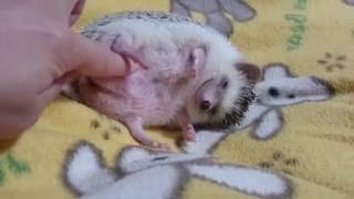 ネムネム睡魔に勝てないハリネズミ【ノエル♀】 thumbnail