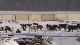 Случай поли патологии у коровы (история болезни, ветеринарный рассказ).