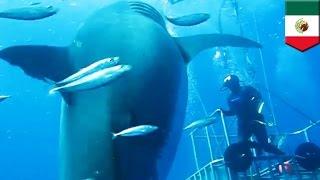 世界最大!?体長6M以上のホホジロザメ映像が公開 メキシコ
