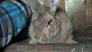 Кролики великаны (гиганты). Кролиководство в США(Кролики в домашней кроликоферме США, где некоторый русский фермер выращивает больших кроликов (великанов,..., 2013-02-02T06:20:03.000Z)