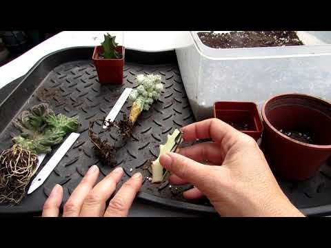 Potting up the wonderful Succulent Plants from Nelly 'Collection of unseen nature' on You Tube