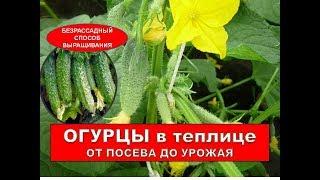 #Огурцы. Когда и Как Сажать Огурцы. Выращивание ОГУРЦОВ В ТЕПЛИЦЕ.