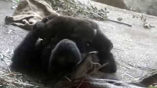 #01. Gorilla baby (9 months old)
