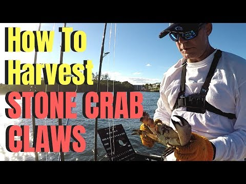 HOW TO Measure & Harvest STONE CRAB CLAWS