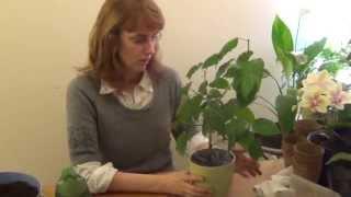 Весенняя пересадка и обрезка гибискуса(Начало февраля - подходящее время для пересадки и обрезки комнатных растений. Сегодня займемся гибискусом..., 2015-02-07T23:44:13.000Z)