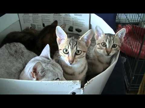 Funny Cats Egyptian Mau kittens 2015 part 7