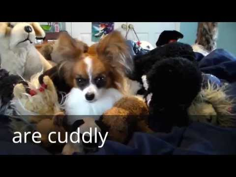 Percy the Papillon Dog: Things to know about Papillons!