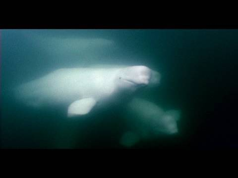 Beluga Whales - Canaries Of The Sea