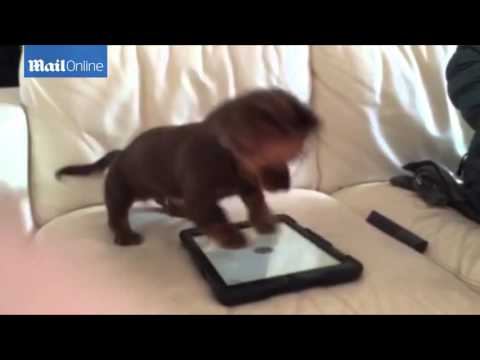 Dachshund puppy jumps up and down on iPad while playing Games for Dogs  Daily Mail Online