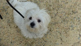 Muffin - Maltese - 3 Week Residential Dog Training At Adolescent Dogs