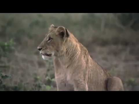 The Lions of Phinda | Big Cats of Africa | Wildlife Documentary HD