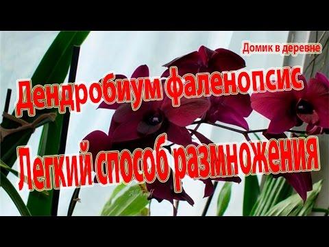 Дендробиум фаленопсис. Легкий способ размножения.