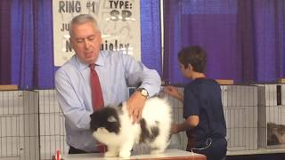 Cute and Playful Bicolor Persian at Portland Cat Show
