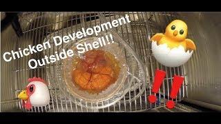 Chicken Embryo Development Time-lapse thumbnail