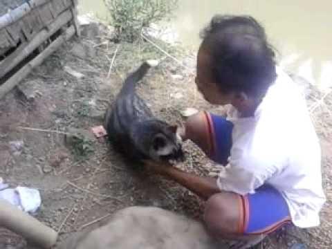 musang pandan ekor putih 11kg from sumedang - YouTube